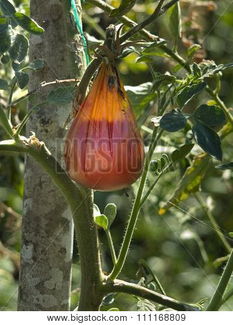 Hail Damaged  Tomatoes With Mold Decaying On A Garden Tree