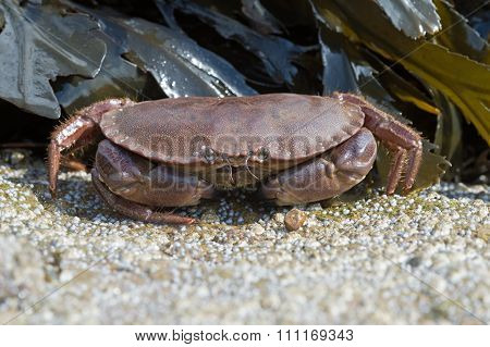 Brown Crab (Cancer Pagarus)