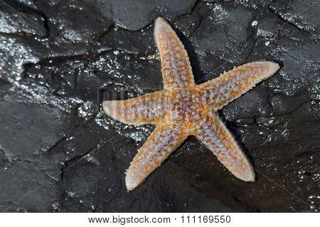 Common Starfish (Asterias Rubens)