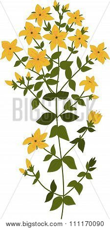 Illustration of the plant Hypericum, isolated vector on a transparent background