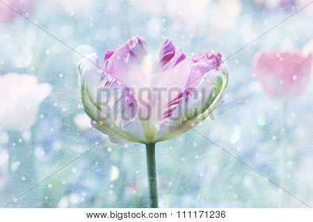 Beautiful Tricolored Parrot-tulip, Spring Awakening Design With Snowflakes