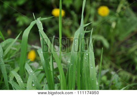 Dew On Grass Close Up