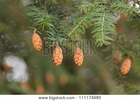 cones of fir