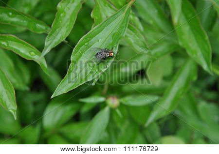 Dung Fly Sitting On A Leaf