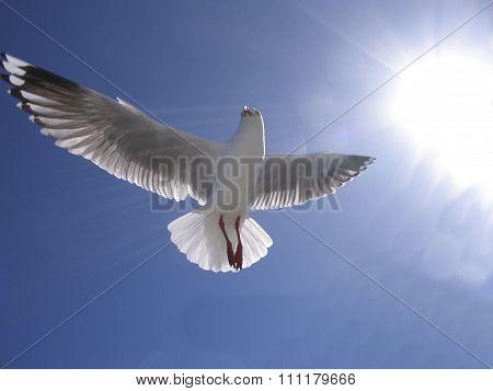 Heavenly Seagull ( Silver Gull ) In Full Flight.