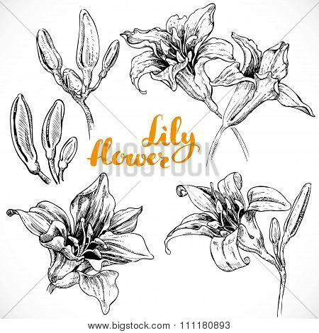 Drawing Lily Flowers And Buds Ink On White Paper Set 1