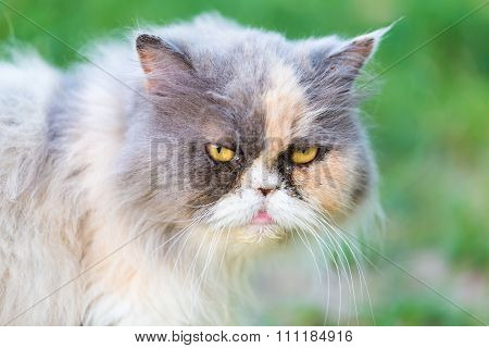 Persian Cat Portrait
