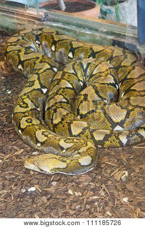 Long Python