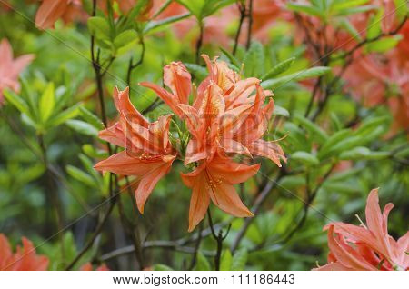 Rhododendrons and azaleas in the garden