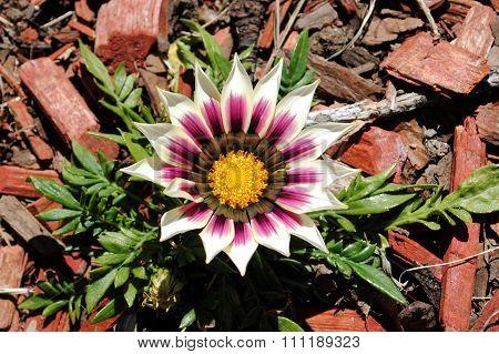 White and purple Gazania flower