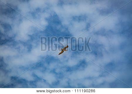 Seagull In The Sky Of Essaouira.