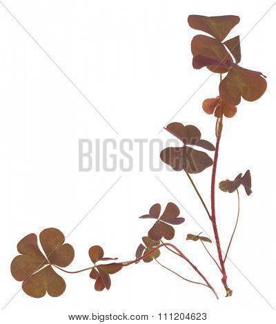 Oxalis triangularis (Purple shamrock)