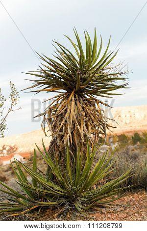 Yucca Plant In Desert