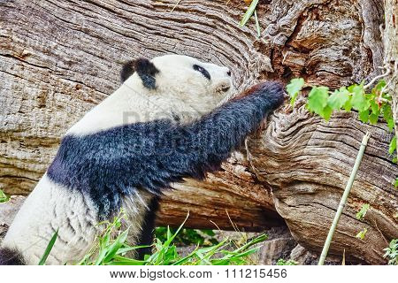 Cute Bear Panda Walks On Nature Around Den.