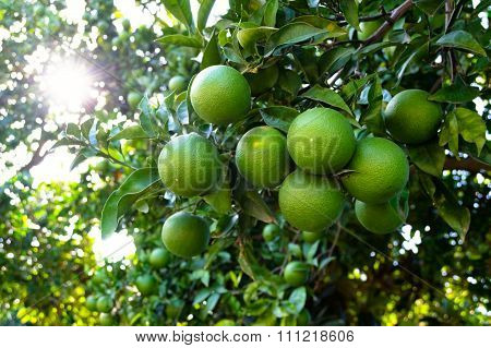Orange Tree With Unripe Fresh Oranges. Selective Focus