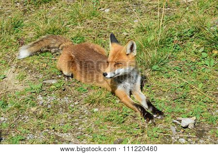 European Fox Lying Down on the grass