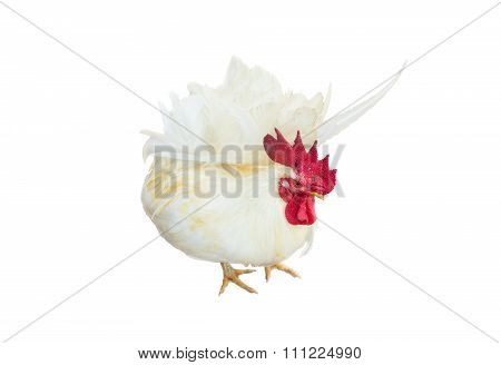 A White Chicken Or Beautiful Bantam Isolated