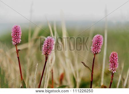 Sanguisorba Officinalis. Sanguisorba - Medicinal Plant.