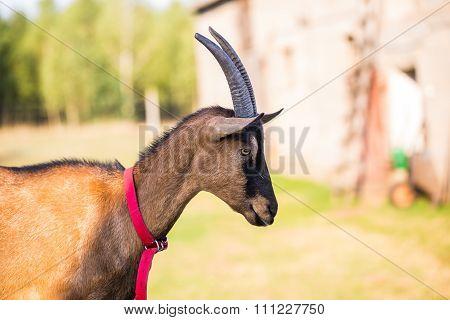 Brown Goat Portrait