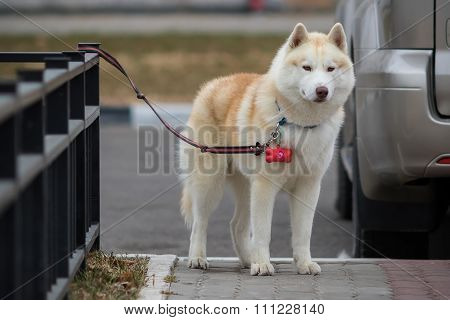 Fluffy Husky Dog Standing Next to Black Fence. Syberian Husky Do