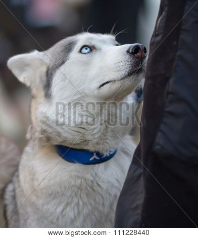 Cute Syberian Husky Dog Looking at His Owner. Hungry Husky Dog P