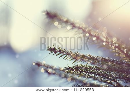 Fir-tree Branches In Hoarfrost