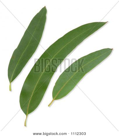 Gum Leaves With Clipping Paths