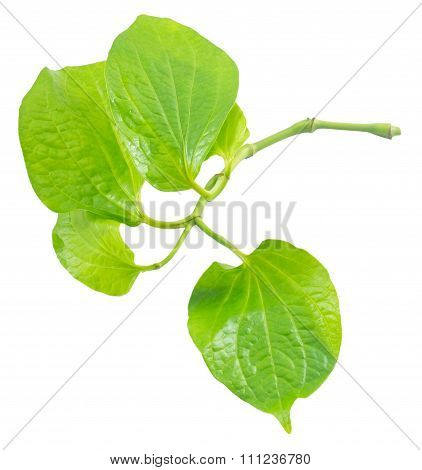 Piper Betle Or Wildbetel On White Background