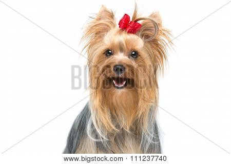 Beautiful yorkshire terrier sitting