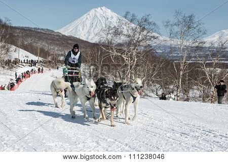 Dog Team Is Running On Snowy Slopes On Background Of Volcanoes