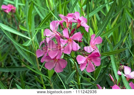 Nerium Oleander 'Papà Gambetta'