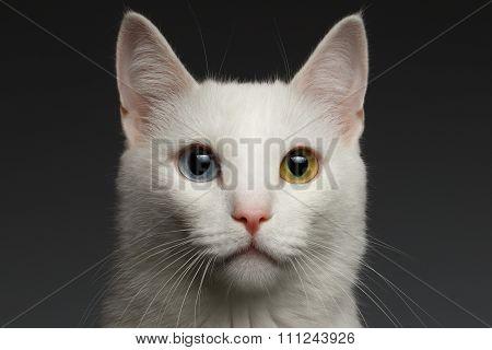 Closeup White Cat With  Heterochromia Eyes On Gray