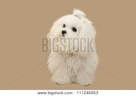 White Doggie On A Light Background