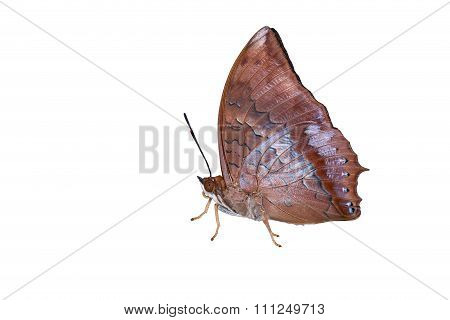 Isolated Tawny Rajah Butterfly On White