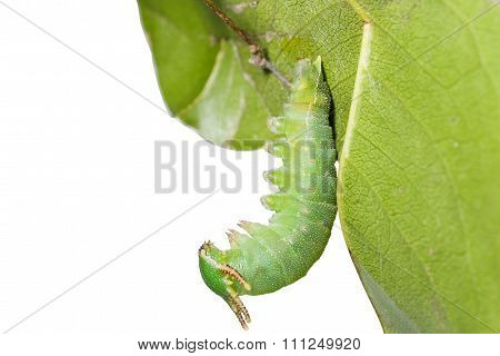 Caterpillar Of Tawny Rajah Butterfly Hanging On Leaf