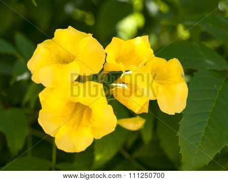 Yellow Allamanda Cathartica ,flowering Is The Name Of The Species..
