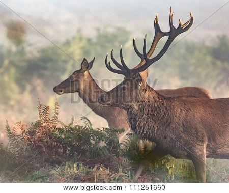 Stag And Hind Red Deer Walking Through Bracken