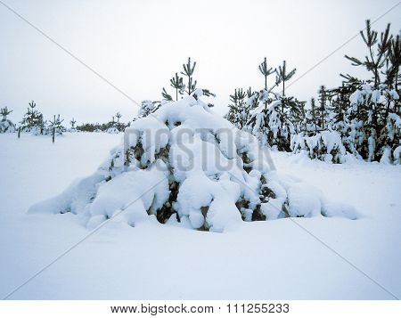 Pine Tree In The Snow