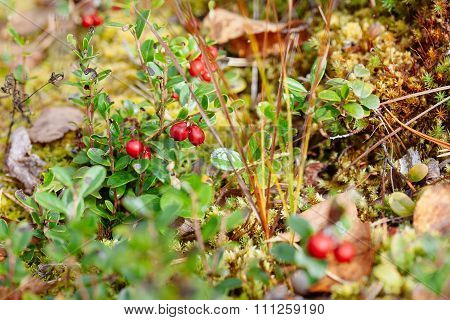 Cowberry. Bushes Of Ripe Forest Berries