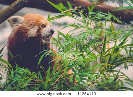 Cute red panda eating a bamboo tree leaves