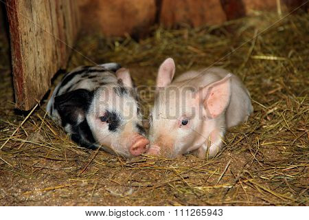 Young Pigs In The Barn