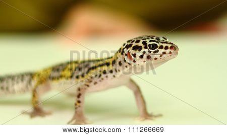 Standing gecko