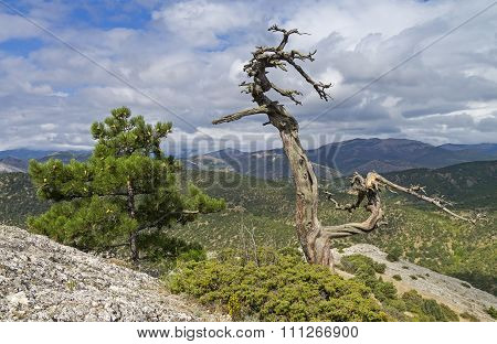 Relic Pine Trees In The Crimean Mountains