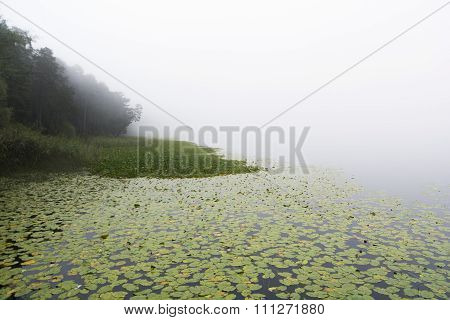 Lotus Plant On Foggy Lake