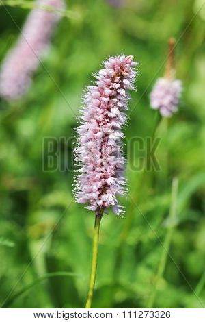 Alpine flora: common bistort (Polygonum bistorta)