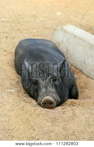 Black pig is lying on sand, farm, shooting outdoors