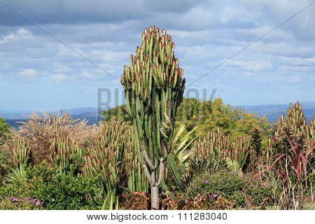 Glasshouse Mountains Cactus