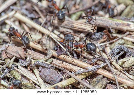 ants macro