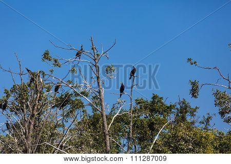 Cormorants On Trees