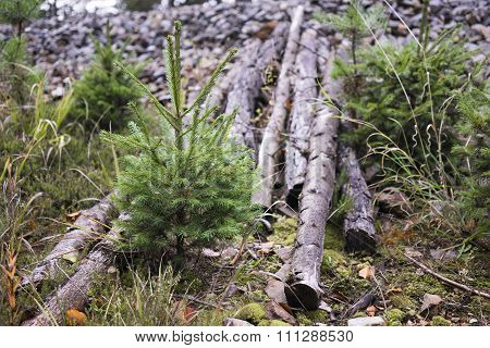 Young Evergreen Trees Growing Beside Cut Logs